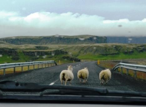 2013-07-Islandia-Cabras-Carretera