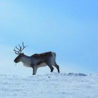 Travesía Esquí de Fondo en la Laponia Finlandesa (Marzo 2016)