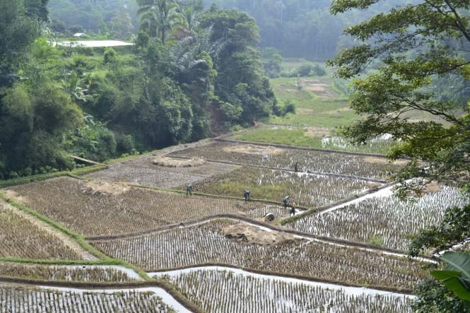 2016-07-cianjur-campos-arroz-01