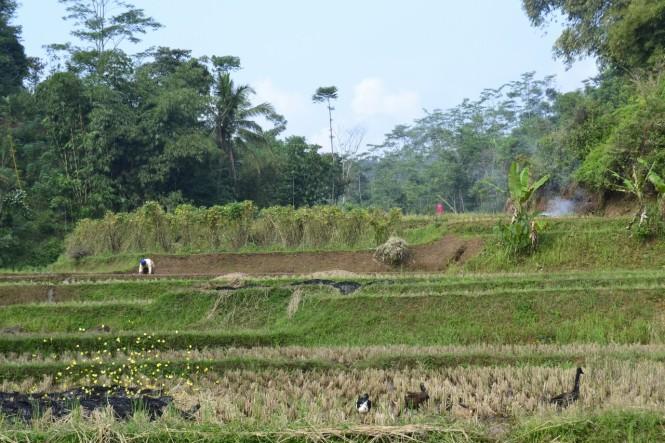 2016-07-cianjur-campos-arroz-03