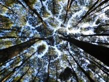Hutan Pinus