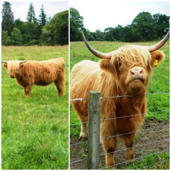 2014-07-Scotland-Coo.jpg