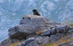 Marmota oteando el horizonte