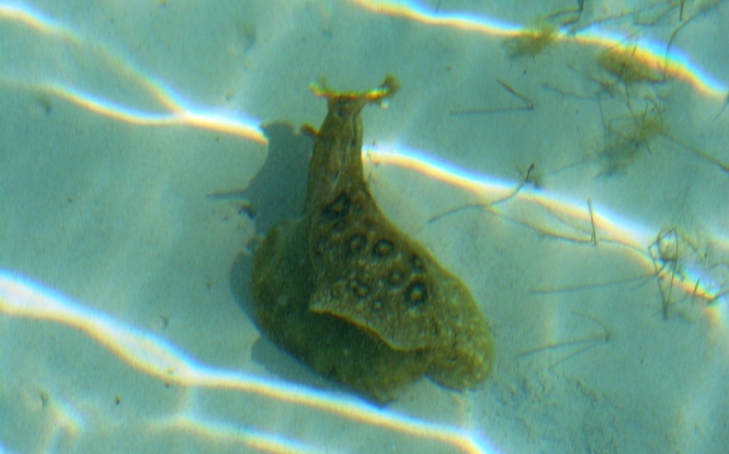 2012-04-bahamas-great-exuma-resort-5-aplysia-dactylomela.JPG
