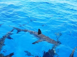 Snorkel con Tiburones Caribeños del Arrecife