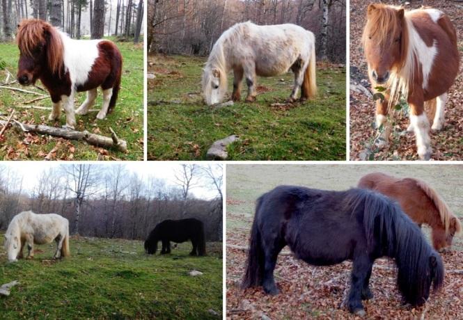 2015-12-aralar-rasos-de-albi-ponies.JPG