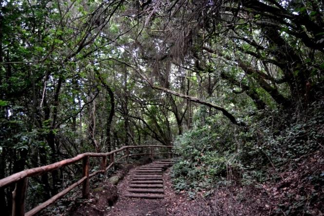 2016-12-tenerife-las-lagunetas-guardianes-centenarios-bosque