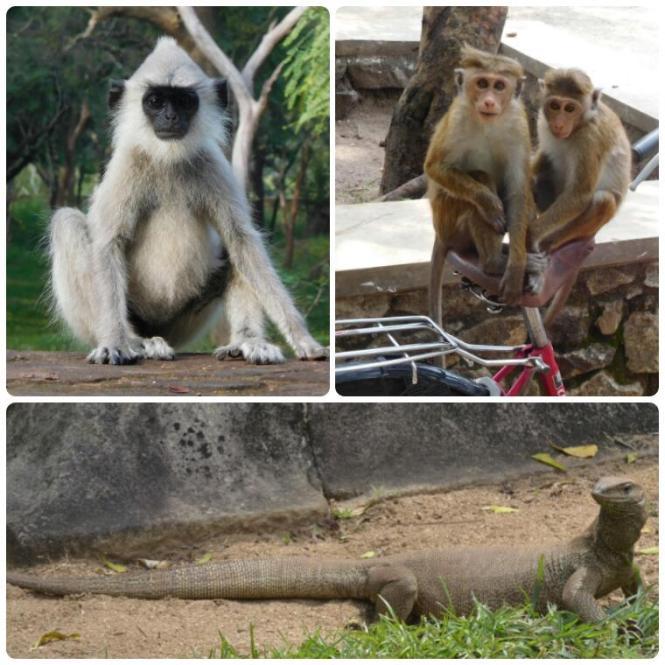 2017-02-sri-lanka-polonnaruwa-animales.jpg
