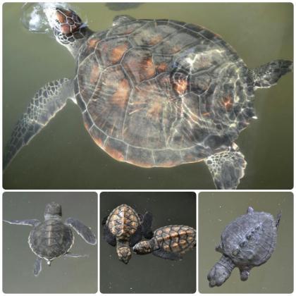 Kosgoda - Criadero de Tortugas