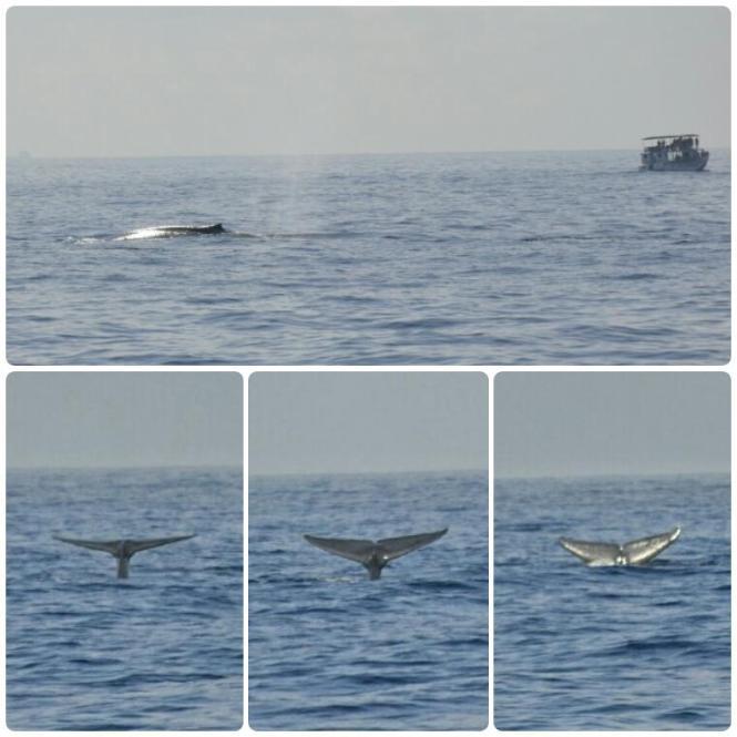 2017-03-sri-lanka-mirissa-ballenas-3