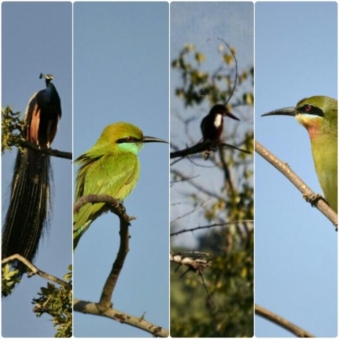 2017-03-sri-lanka-udawalawe-safari-04-aves
