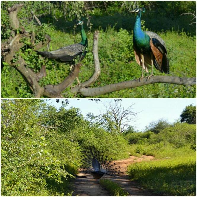 2017-03-sri-lanka-udawalawe-safari-09-pavo-real