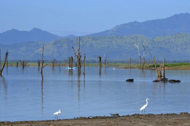 2017-03-sri-lanka-udawalawe-safari-20-bufalos-egrets.JPG