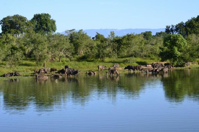 2017-03-sri-lanka-udawalawe-safari-22-bufalos