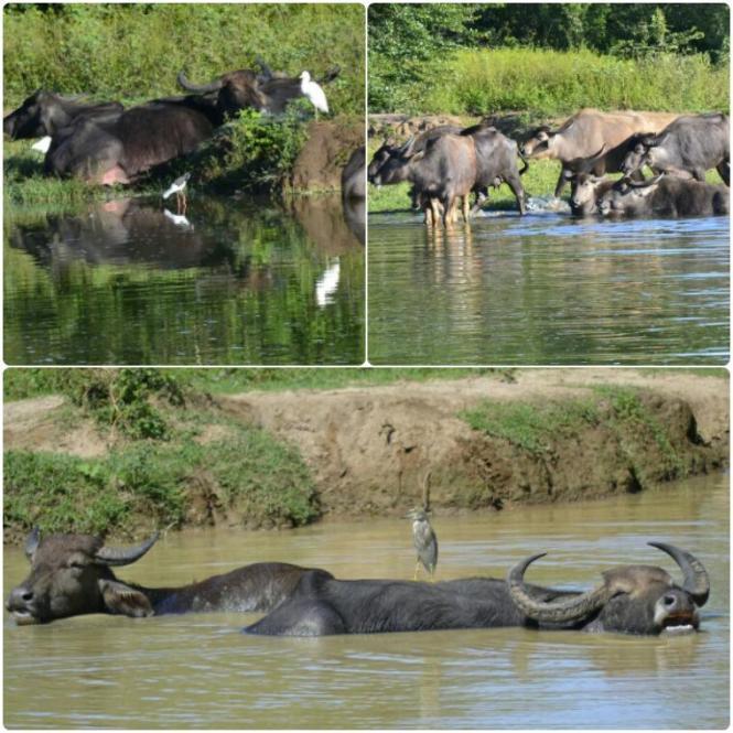 2017-03-sri-lanka-udawalawe-safari-23-bufalos