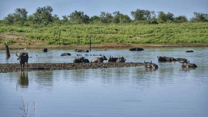 2017-03-sri-lanka-udawalawe-safari-25-bufalos-aves.jpeg