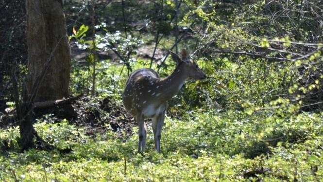 2017-03-sri-lanka-udawalawe-safari-26-ciervo