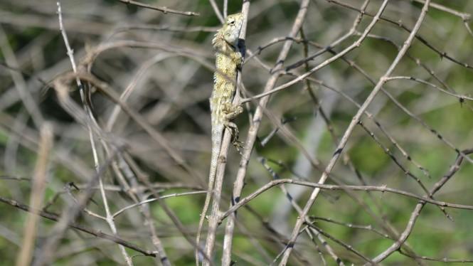 2017-03-sri-lanka-udawalawe-safari-27-iguana