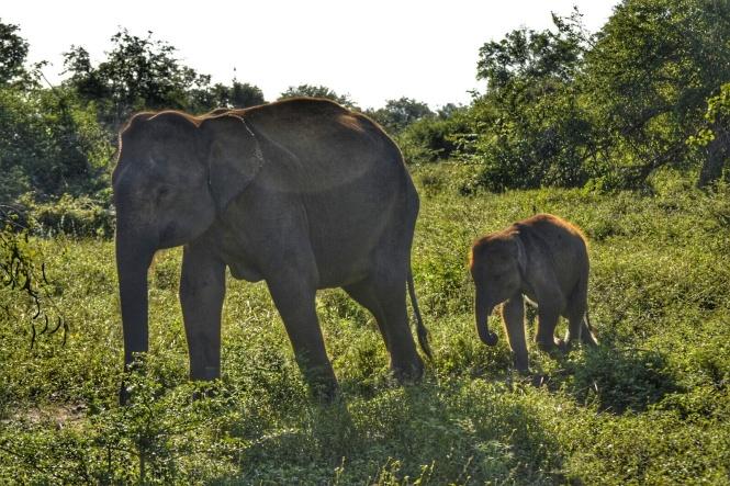 2017-03-sri-lanka-udawalawe-safari-31-elefantes.jpeg