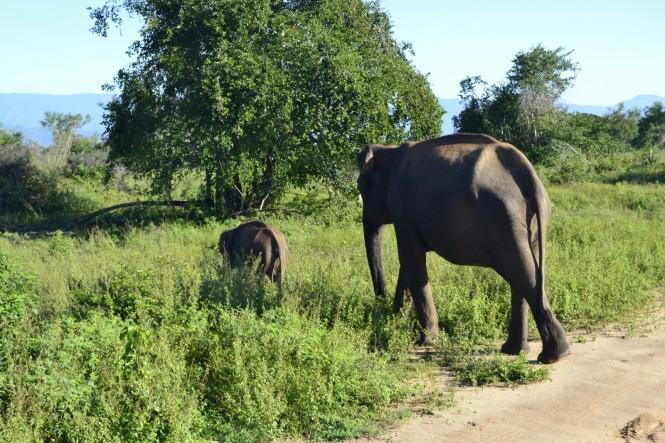 2017-03-sri-lanka-udawalawe-safari-32-elefantes.JPG
