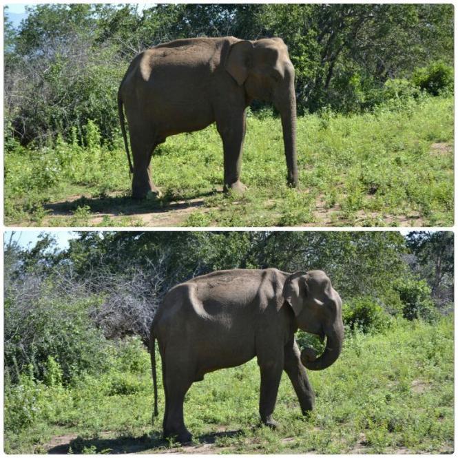 2017-03-sri-lanka-udawalawe-safari-38-elefantes