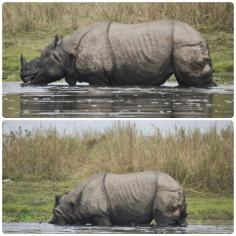 Chitwan - Rinoceronte