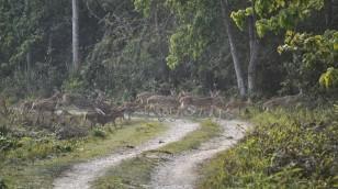 Chitwan - Ciervos