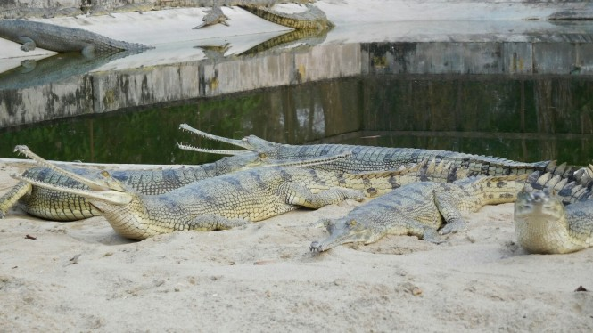 2017-03-nepal-Chitwan-jungle-walk-dia-1-16-crocodile-breeding-centre-gharial