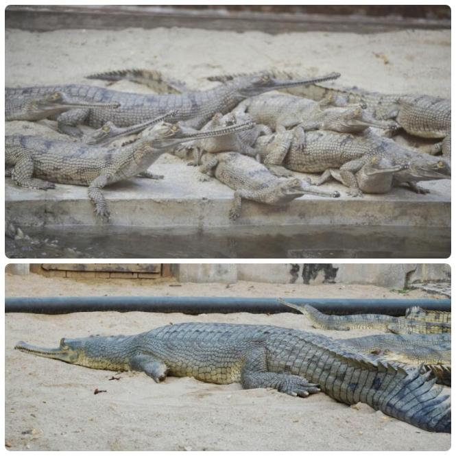 2017-03-nepal-Chitwan-jungle-walk-dia-1-17-crocodile-breeding-centre-gharial