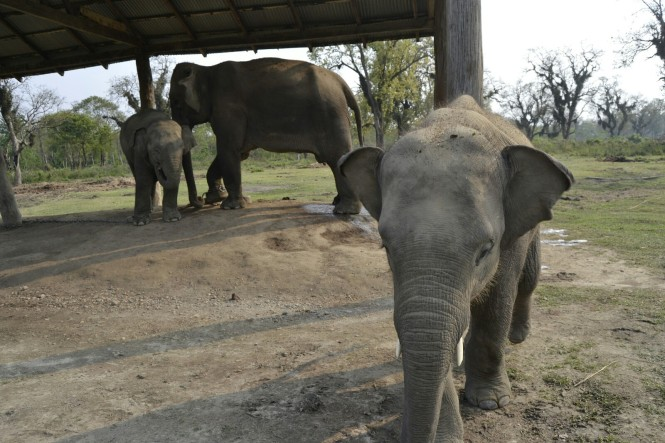2017-03-nepal-Chitwan-Sauraha-elephant-breeding-center-2