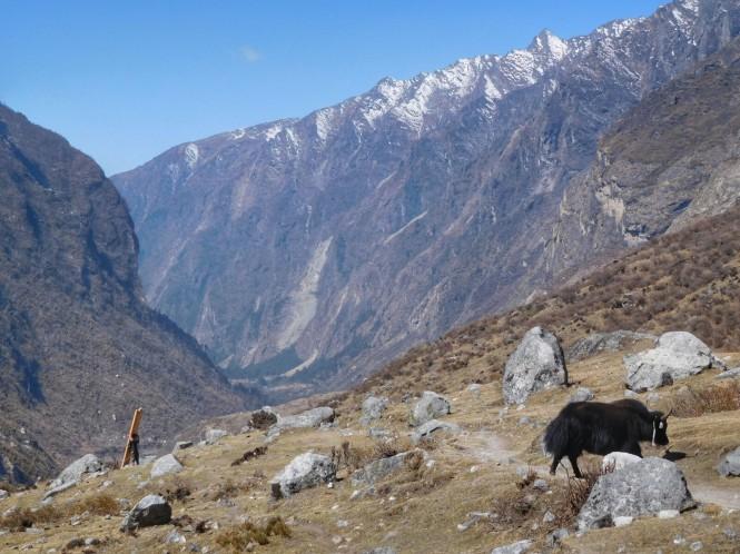 2017-03-nepal-Trekking-LGH-Dia-5-de-kyanjin-a-lama-4-porteador-yak.jpeg