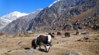 Trekking Langtang-Gosaikunda-Helambu - Yaks