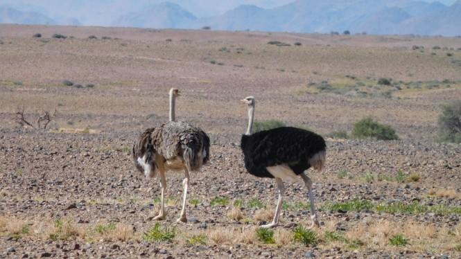 2017-06-namibia-sesriem-avestruces-1