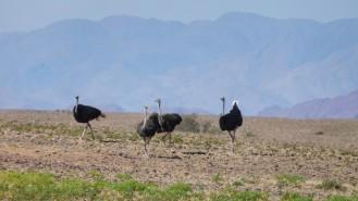 Avestruces en Sesriem