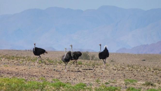 2017-06-namibia-sesriem-avestruces-2