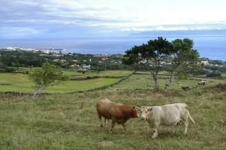 Vacas campando alegremente