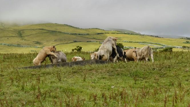 2017-07-azores-pico-ruta-lagoas-8-vacas