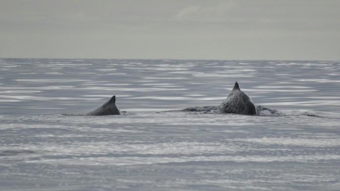 2017-07-azores-pico-viaje-barco-03-cachalotes