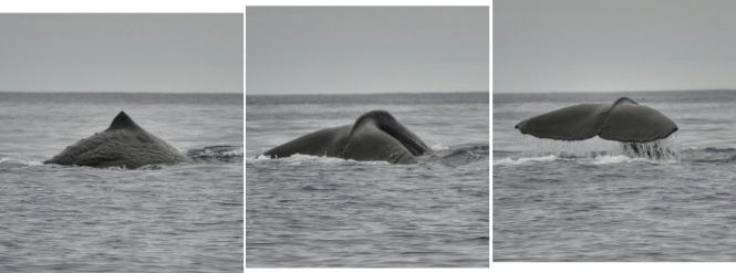 2017-07-azores-pico-viaje-barco-06-cachalotes
