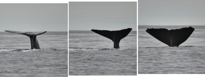2017-07-azores-pico-viaje-barco-07-cachalotes