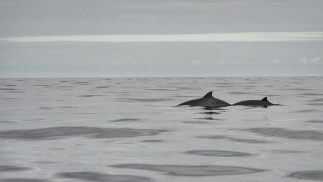 2017-07-azores-pico-viaje-barco-12-zifio-ballenato-de-cuvier.jpeg