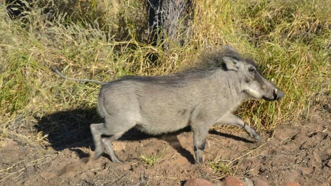 2017-06-namibia-carretera-c22-warthog-2.jpeg