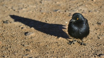 Pájaro en Fish River Canyon