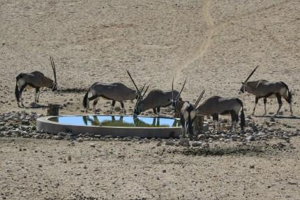 Oryx en Garub