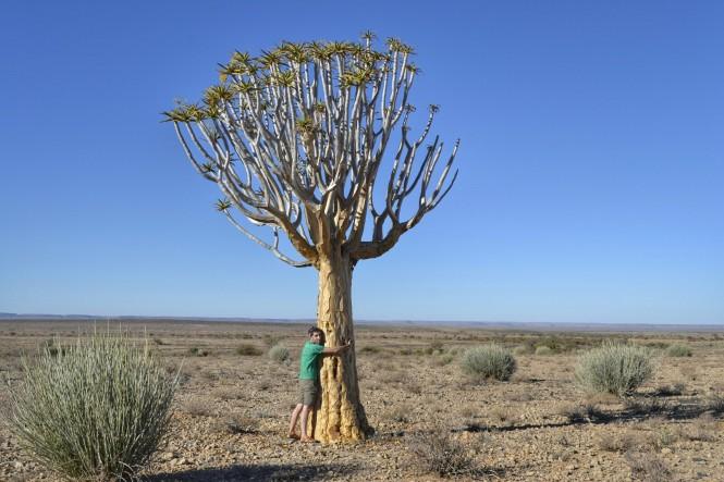 2017-06-namibia-goageb-arbol-aloe-dichotoma-1
