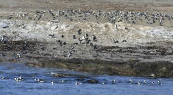 Pingüinos del Cabo en Lüderitz