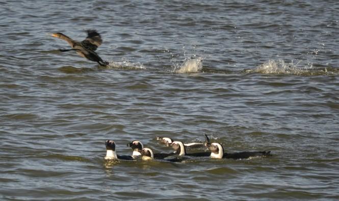 2017-06-namibia-luderitz-halifax-island-pinguinos-del-cabo-6