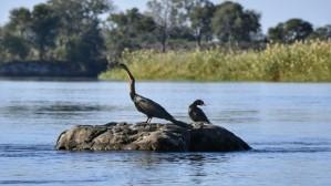 Pato Aguja en el Okavango