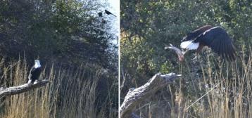 Pigargo Vocinglero en el Okavango