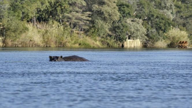2017-06-namibia-ngepi-okavango-mokoro-06-hipopotamos.jpeg